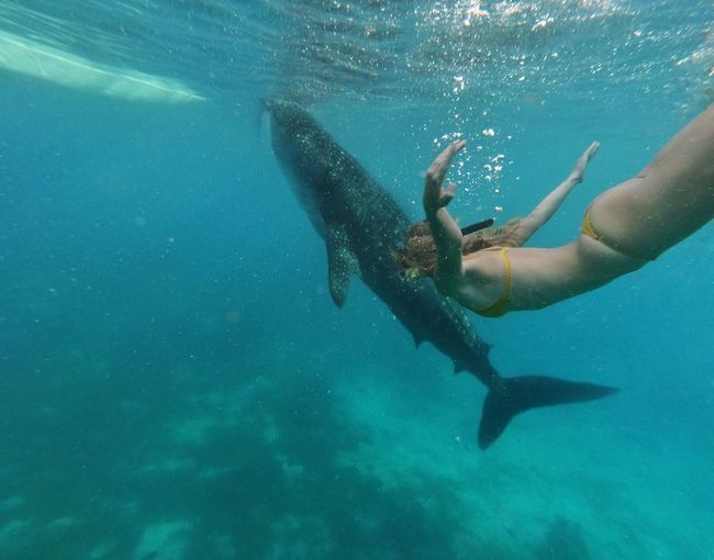 Woman swimming with the whale shark
