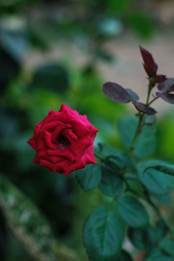 Beauty In Nature Close-up Flower Flower Head Flowering Plant Focus On Foreground Fragility Freshness Growth Inflorescence Nature No People Outdoors Petal Plant Red Rosé Rose - Flower Vulnerability
