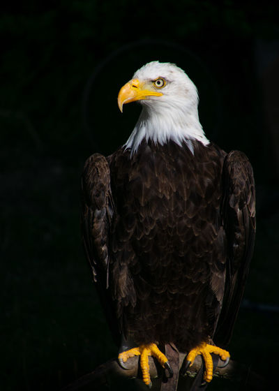 Close-up of eagle looking away while perching against black background