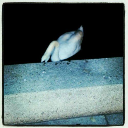 Schwan  in der Nacht