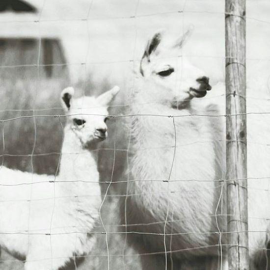 Lamas Tiere Adorable Animals Hübsch Beautiful Blackandwhite Monochrom Photo Photograph Photooftheday Happy Photoshoot