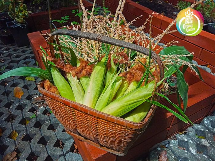 เพียวไวท์สวีท หวานหยดย้อยกินดิบได้เลย ข้าวโพด Corn Sweed Flower Basket High Angle View Close-up