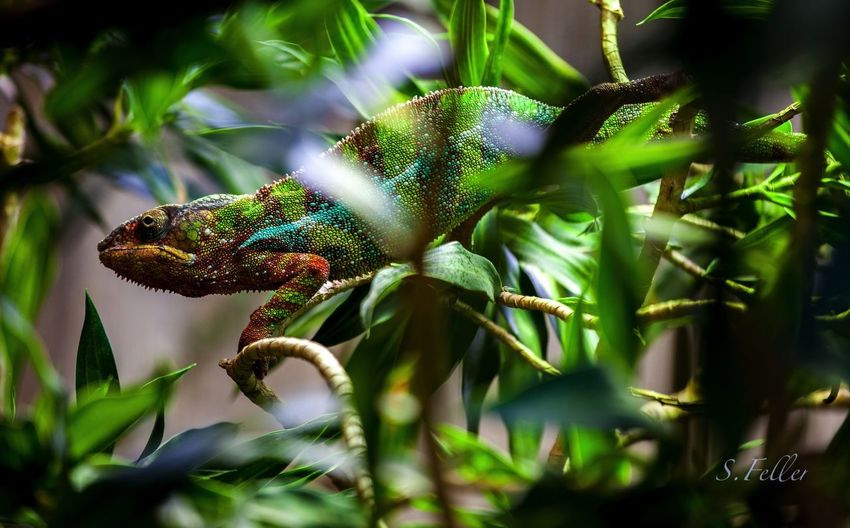 Plant Animal Animal Themes Animal Wildlife One Animal Selective Focus Animals In The Wild Nature Green Color Growth No People Close-up Day Plant Part Reptile Leaf Beauty In Nature Lizard Tree Chameleon Zoo Hamburg Hagenbecks Tierpark Hamburg  colour of life EyeEmNewHere