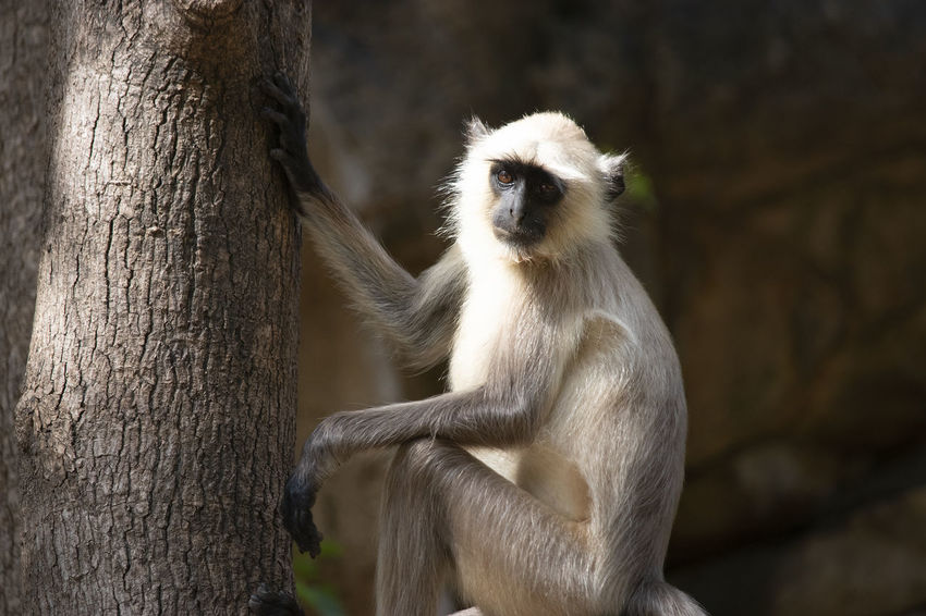 Langur monkey at Rathembore national Park India Animals In The Wild Primate One Animal Tree Trunk Vertebrate Nature No People Sitting Outdoors Langur Monkey Rathembore National Park