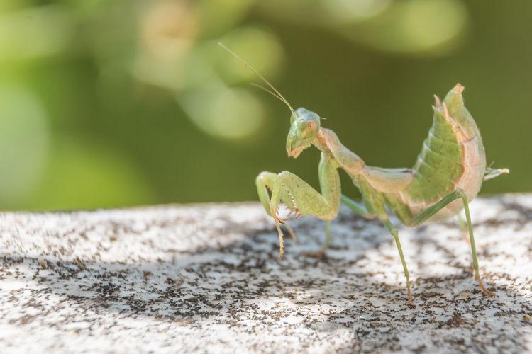 Praying mantis, corfu