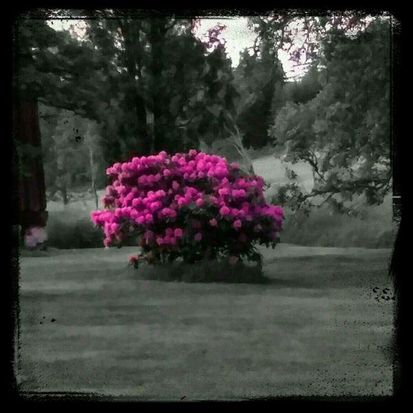 Rhododendron. EyeEm Flower EyeEm Best Edits Nature