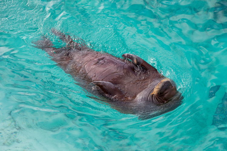Overhead view of young female Pacific walrus swimming on her back in turquoise water Pacific Walrus Overhead View Female Young Swimming Back Turquoise Water Moustache Enjoying Bird's Eye View Marine Flippers Exercise Animal Wildlife Water Nature High Angle View Motion Outdoors Aquatic Mammal
