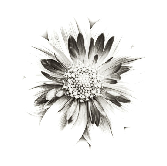 Close-up of daisy against white background