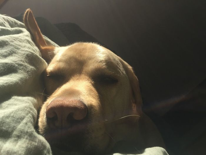 Napping Miltonbiscuit Milton Biscuit Labrador Sunbeam Light And Shade Whisker Canine Dog One Animal Pets Mammal Domestic Animal Animal Themes Domestic Animals Relaxation Close-up Indoors  Animal Head  Resting Sunlight Home Interior Animal Body Part