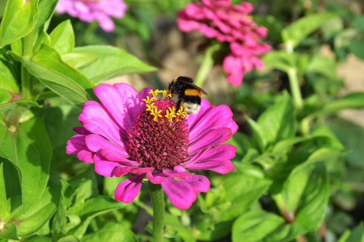 Animal Themes Animals In The Wild Beauty In Nature Bumble Bee Close-up Flower Flower Head Focus On Foreground Fragility Freshness Garden Growth Honey Bee In Bloom Insect Nature Ne People One Animal Outdoors Pink Color Plant Pollination Purple Springtime Wildlife
