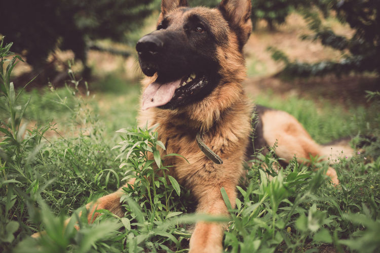 Happy german shepherd playing on the green grass Animal Themes Close Up Day Dog Domestic Animals Field German Shepherd Grass Mammal Nature No People One Animal Outdoors Pets Sticking Out Tongue Tongue