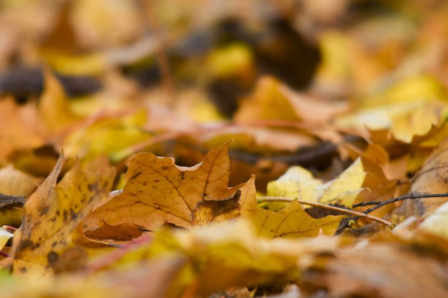 Autumn Autumn Collection Backgrounds Brown Change Close-up Day Dry Fall Food Fragility Full Frame Leaf Leaves Maple Leaf Natural Condition Nature No People Plant Plant Part Selective Focus Vulnerability  Yellow