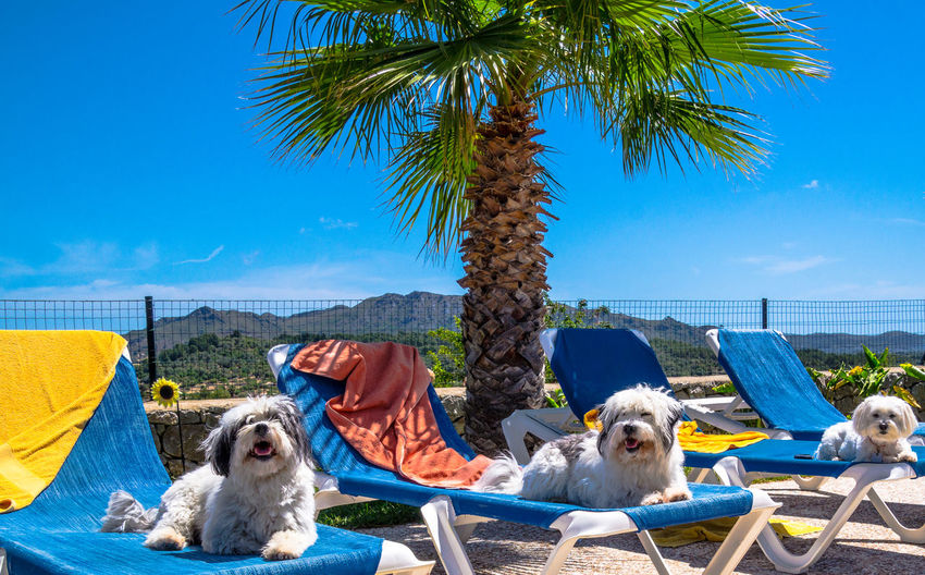 Close-up of dogs sitting on deck chairs against clear sky
