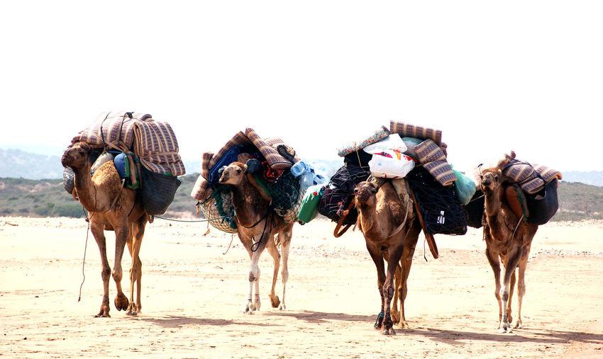 Dromedar Morocco Transportation Animal Animal Themes Animal Wildlife Arid Climate Camel Clear Sky Climate Day Desert Domestic Domestic Animals Dry Group Of Animals Herbivorous Land Livestock Mammal Nature Outdoors Sand Sky Vertebrate Working Animal