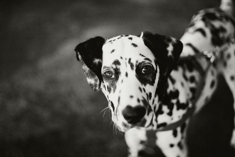 PORTRAIT OF Dalmation