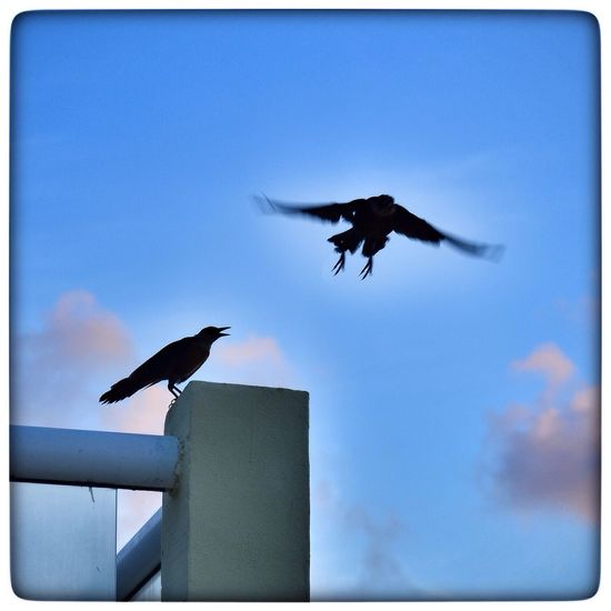 Black Birds Bird Bird Photography Blue Sky Flying Enjoying The Sun OpenEdit Silhouette Freedom
