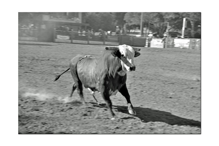 Bull Riding At The Bill Pickett Rodeo 4 Rowell Ranch Hayward, CA Bull Riding  Rodeo Bill Pickett Born 1870 Jenks-Branch,Texas Cowboy Rodeo Legend Wild West Shows ProRodeo Hall Of Fame 33rd Anniversary Bill Pickett Invitational Rodeo Rodeo Sport Exhibition National Touring Rodeo Competition Professional Rodeo Cowboys Association Monochrome_Photography Monochrome Black & White Black & White Photography Black And White Collection  Black And White The Bull Wins This Event