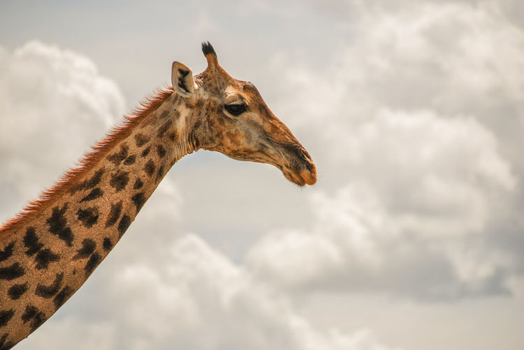 Giraffe Kruger Park Animal Themes Animal Wildlife Animals In The Wild Close-up Cloud - Sky Day Giraffe Low Angle View Mammal Nature No People One Animal Outdoors Safari Safari Animals Sky