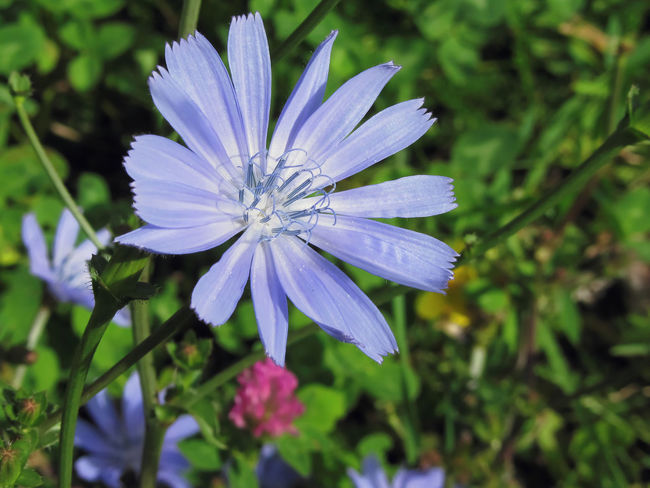 Closeup of blue Chicory flower on a background of a different field grass Bach Flower Blossom Blue Burgeon Chicory Cichorium Comestible Common Delightful Eatable Edible  Exquisite Field Flower Fragility Intybus Meadow Medical Medicative Medicinal Pestle Petal Seasonal Summer Uncultivated