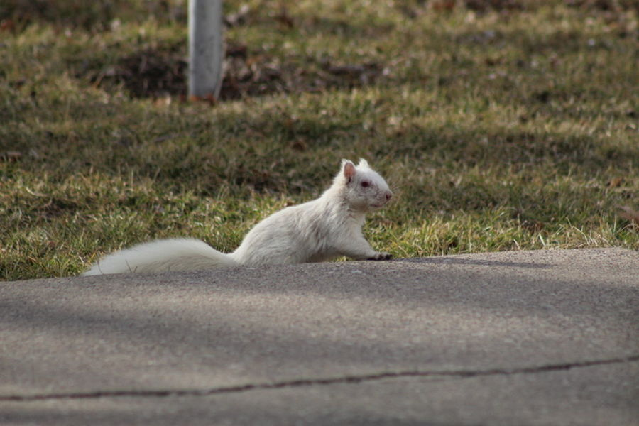 Squirrel White Squirrel Albino Albino Squirrel Animal Themes Animal Wildlife Animals In The Wild Close-up Day Domestic Animals Grass Mammal Nature No People Oddity One Animal Outdoors Pets