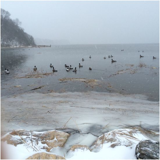 How's The Weather Today? Ducks in the winter snow storm. Nature Ducks