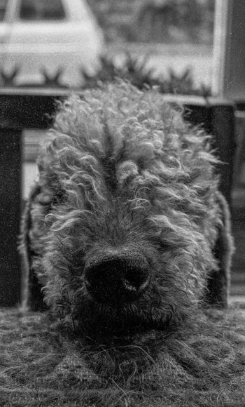Adriaan 1976 B&W Animal Portrait Schiedam B&w Bedlington Bedlington Terrier Bedlingtonterrier Canine Close-up Dog Domestic Domestic Animals Focus On Foreground Mammal No People One Animal Pets Vertebrate