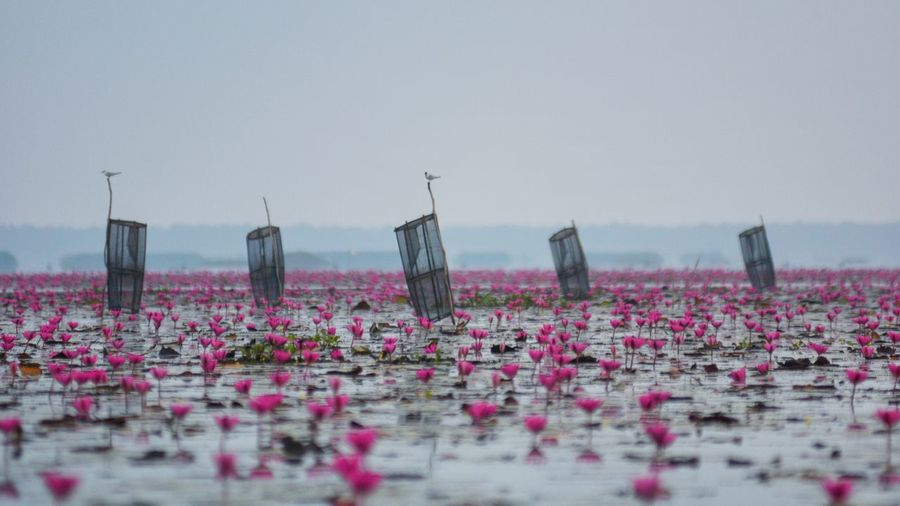 Local fishing Water Flowering Plant Beauty In Nature Flower Nature Plant My Best Photo Outdoors Day Pink Color Travel Destinations Floating On Water Sky