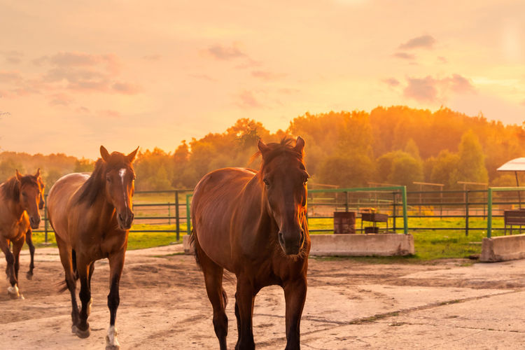 Animal Animal Themes Animal Wildlife Domestic Domestic Animals Field Golden Hour Group Of Animals Herbivorous Horse Landscape Livestock Mammal Nature No People Orange Color Outdoors Pets Ranch Rural Scene Sky Sunlight Sunset Two Animals Vertebrate