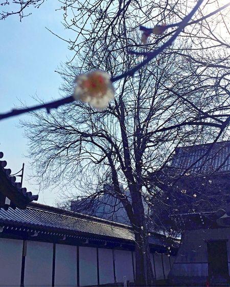 Ume Blossom Japanese Plum Blossom Japanese Plum Blossoms Nishihonganji Kyoto,japan Kyoto, Japan ♫From Season to Season (Louis Philippe)