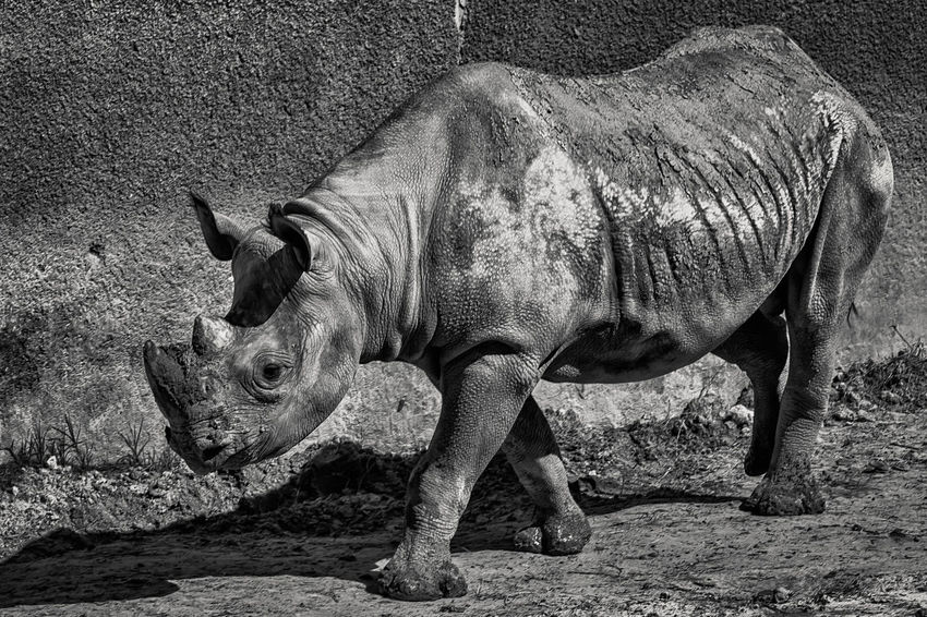 The Lumbering Rhino Rhino Animals Black & White