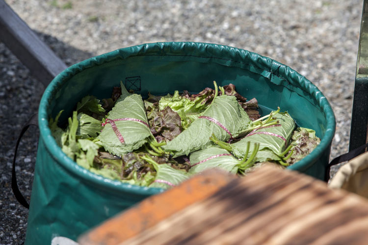 High angle view of shiso leaves and lettuce in green container during camping