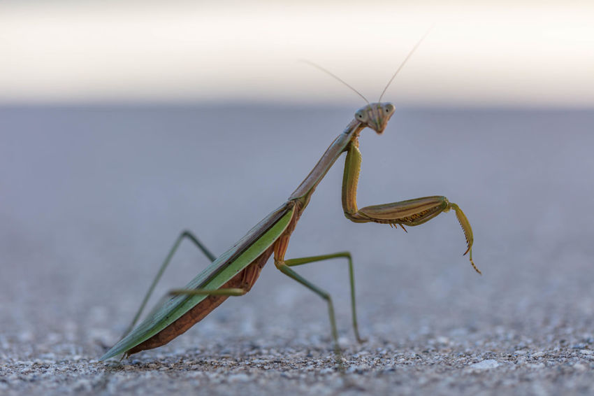 Praying Mantis Animal Antenna Animal Themes Animals In The Wild Beauty In Nature Day Focus On Foreground Grasshopper Insect Nature No People One Animal Outdoors Praying Mantis Selective Focus Tranquility Wildlife Zoology