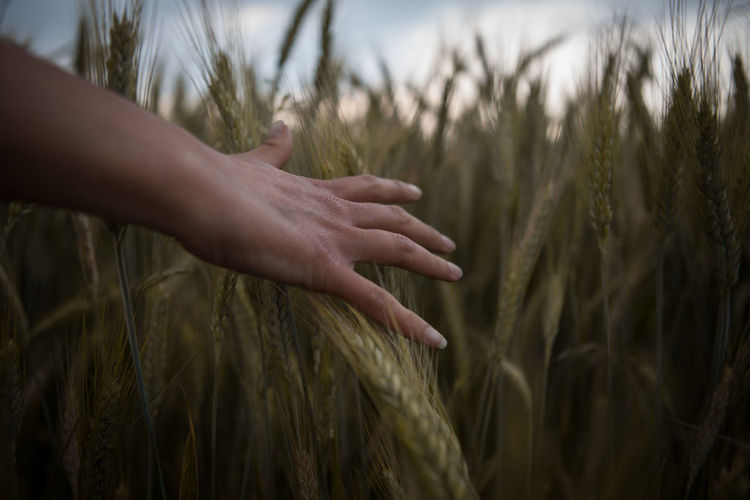 Cropped Image Of Person Touching Wheat Crops