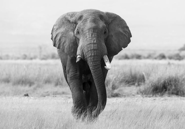 Portrait of an elephant Elephant Animal Themes Animal One Animal Animal Wildlife Mammal Animals In The Wild Field Grass Land Animal Trunk Plant Animal Body Part Vertebrate Landscape Nature Day No People Environment Tusk Outdoors African Elephant Herbivorous