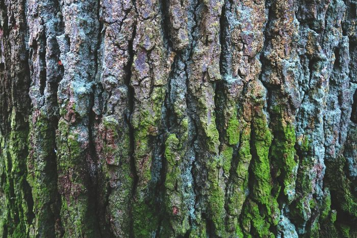 oak tree bark. full frame natural background. Natural Backgroud Oaks Oaktree Texture Textured  Moss Bark Texture Textures In Nature Moss & Lichen Oak Bark Background Photography Mossy Oaks Mossy Bark