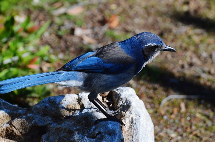 Scrub Jay Bird Perching Blue Close-up