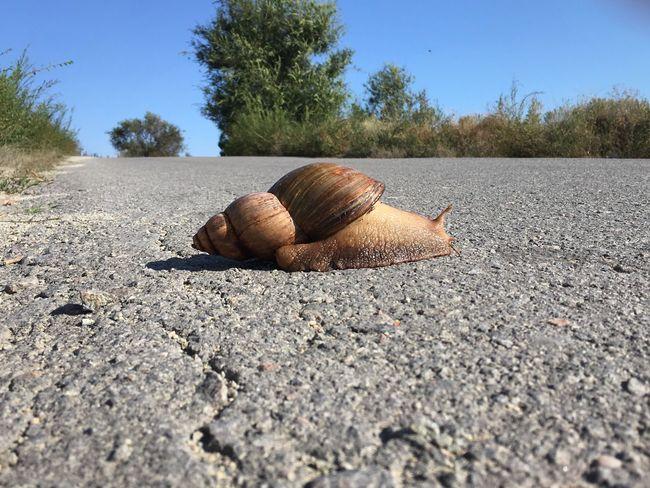 Achatina Achatina Fulica Snail Road