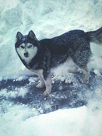 Friends Dog In Snow Husky