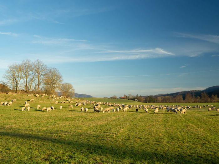 Flock of sheep on grassy field against sky