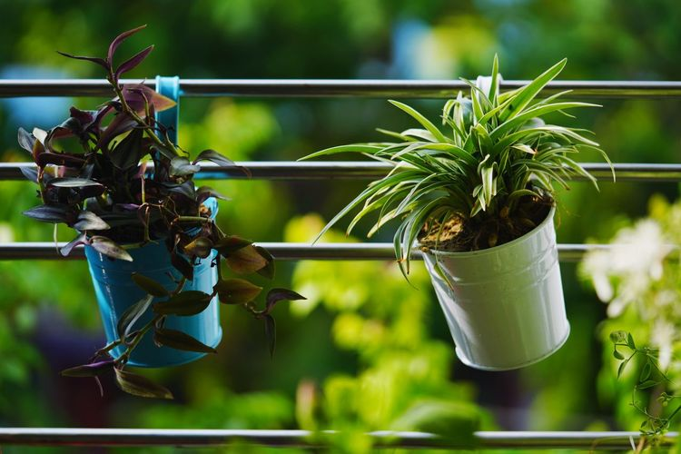 Plant life Passion Hobby Indoor Plants Summer Life Style Balcony Hanging Pot Plants Spider Plant Nature Lover Green Hobby Gardening Nature Lover Garden Photography Beauty In Nature Plant Life Balcony Gardening Nature Lover