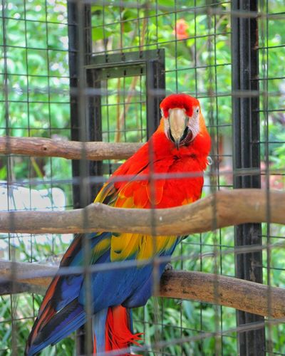 Parrot Bird Scarlet Macaw Macaw One Animal Cage Animal Themes Animal Wildlife Birdcage Red Perching Animals In Captivity Trapped Beauty In Nature Nature Multi Colored Animals In The Wild Pets No People Bird In A Cage Colors Colorful Vibrant Color Vibrant Colours Vibrant