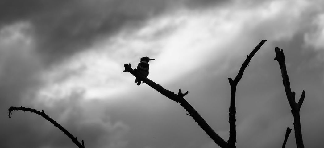Black And White Kingfisher Nature Sihouette