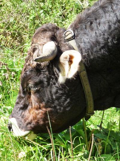 Cow Grass