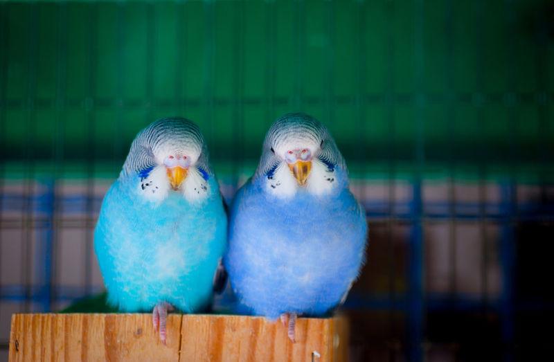Couple of australian parakeet