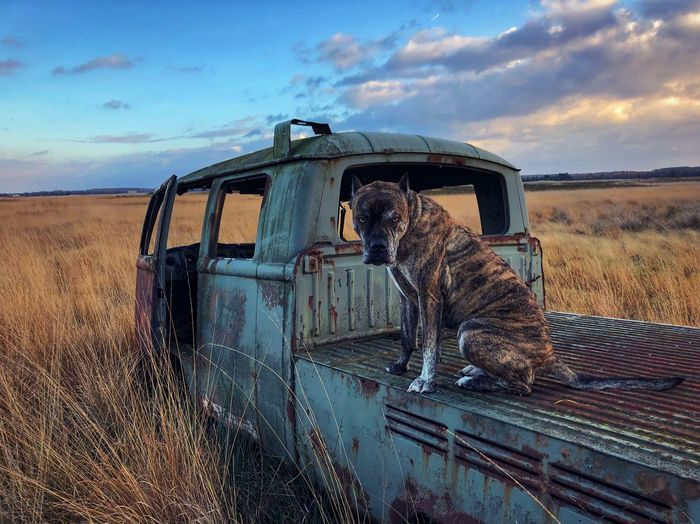 Dog On Abandoned Pick-Up Truck On Field Against Sky