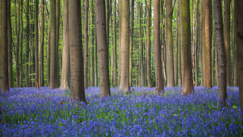 The Blue Forest. Blue Color Beauty In Nature Belgium Bluebell Dawn Day Europe Flower Flowers Forest Growth Halle  Hallerbos Hyacinth Nature No People Outdoors Plant Purple Scenics Tree Tree Trunk Wild Hyacinth