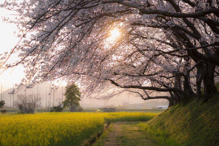 藤原京の春の夜明け Sunrise Nara Japan Japan Photography Spring Fujiwarakyou Tree Flower Rural Scene Flower Head Oilseed Rape Branch Yellow Springtime Agriculture Field Cherry Blossom Cherry Tree