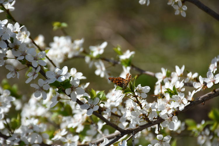 Plant Flower Flowering Plant Fragility Growth Beauty In Nature Freshness Vulnerability  Tree White Color Day Petal Blossom Invertebrate Nature Insect Focus On Foreground Close-up Animals In The Wild Branch No People Springtime Flower Head Outdoors Pollination