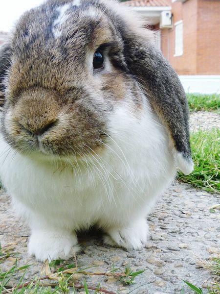 Dixie Comarruga, Tarragona Rabbit