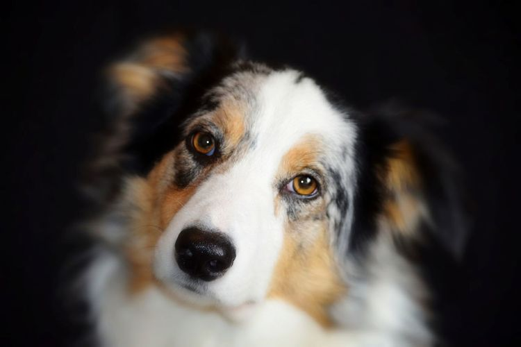 Contemplation face Border Collie Beauty In Ordinary Things Beauty Animal Head  Black Color One Animal Domestic Animals Cute Nose Mammal No People Close-up Animal Themes